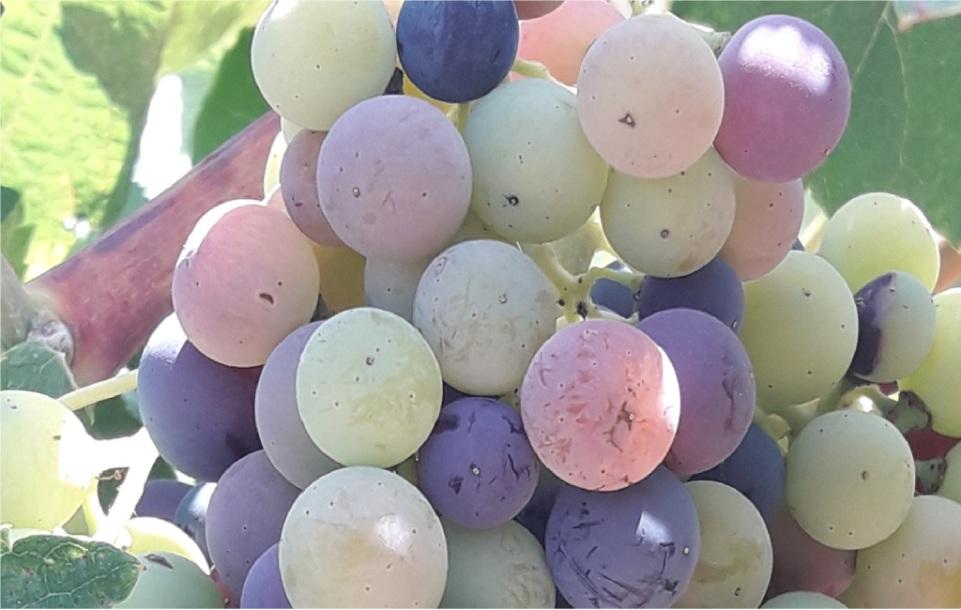 El Envero de las uvas