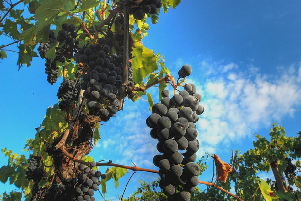 La maduración de las uvas