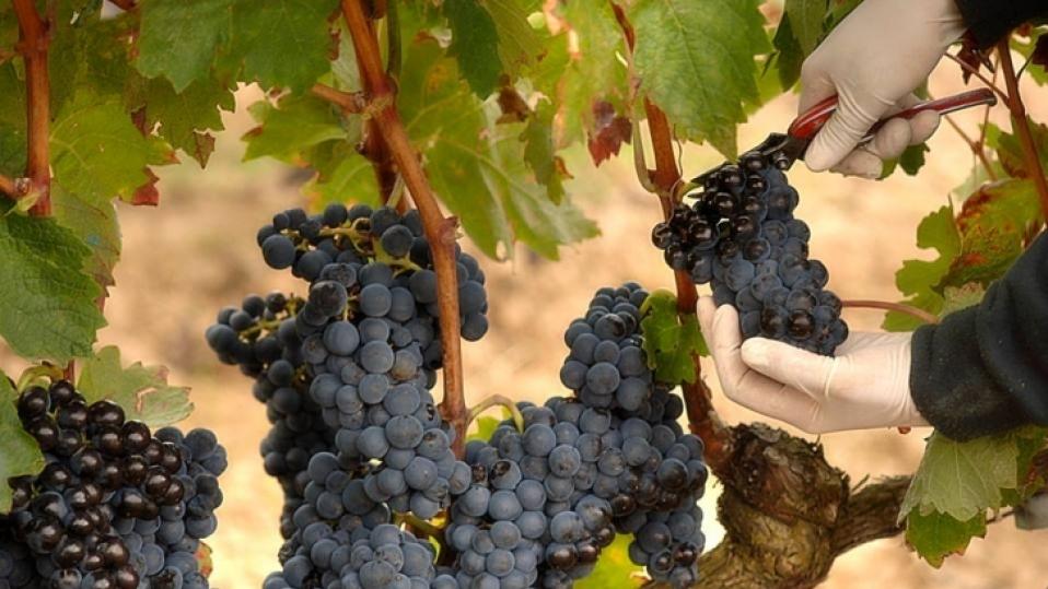Período de Vendimia de las uvas