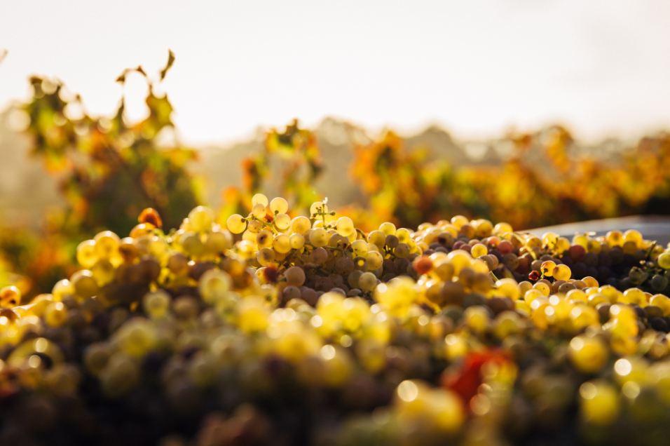La uva Chardonnay