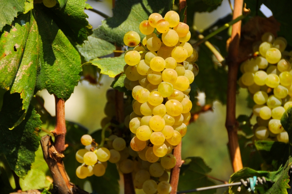 El color de la uva Chardonnay