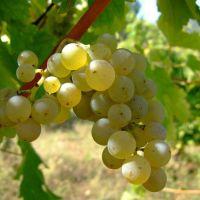 Sauvignon blanc. Características, cata y maridaje