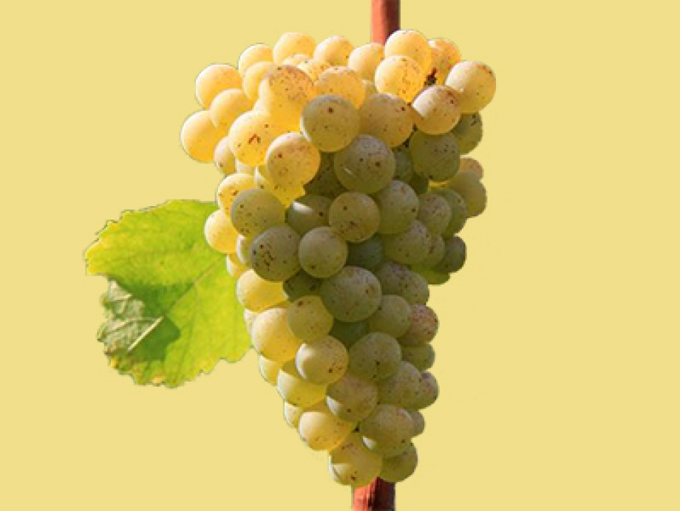 Sauvignon blanc racimo de uvas