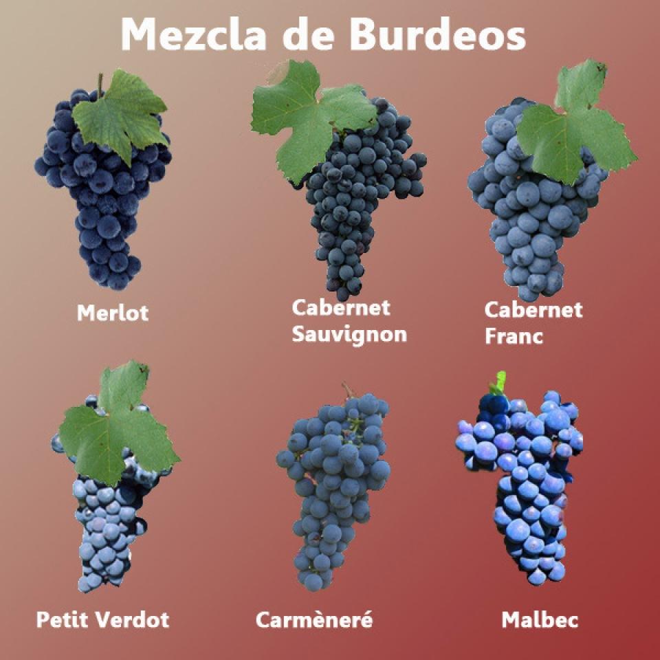La mezcla de Burdeos, uva Merlot