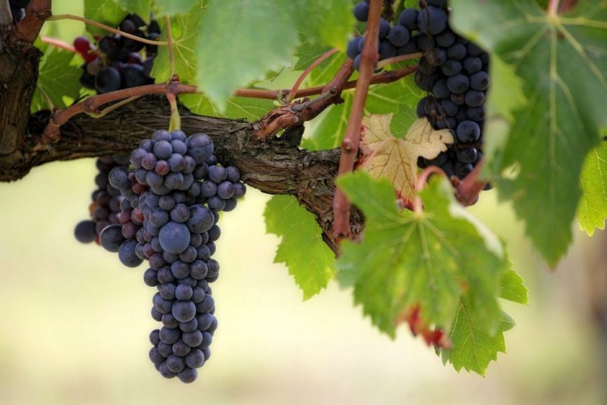 Racimo de uva tinta, La Vid